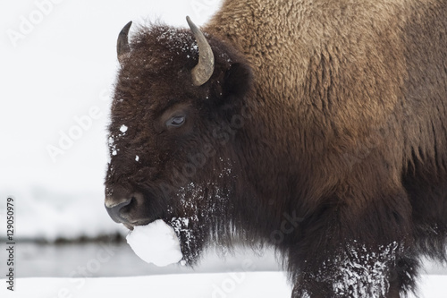 Photo  Bison with a large snowball in her beard, Yellowstone National P