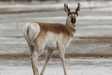 Pronghorn In Winter In Yellowstone National Park.