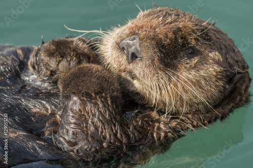 Photo  Sea otter floating in Seward harbor, Alaska.