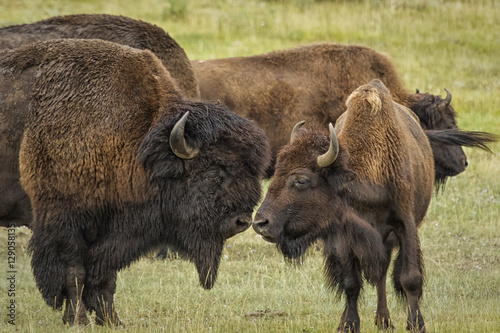 Fotografia, Obraz  Bison couple nudging noses during the rut in Yellowstone Nationa