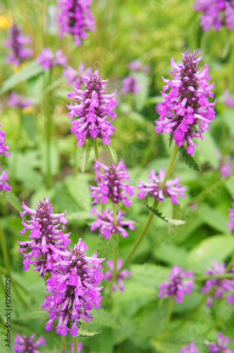 Stachys officinalis many purple flowers in green Canvas Print
