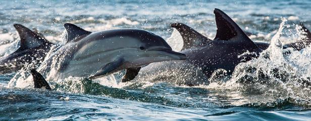 FototapetaDolphins, swimming in the ocean