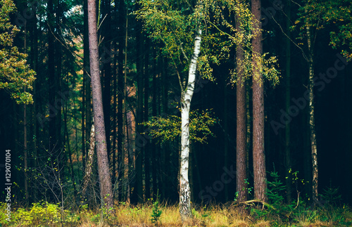 Birch tree with yellow autumn leaves against dark pine tree fore Canvas-taulu