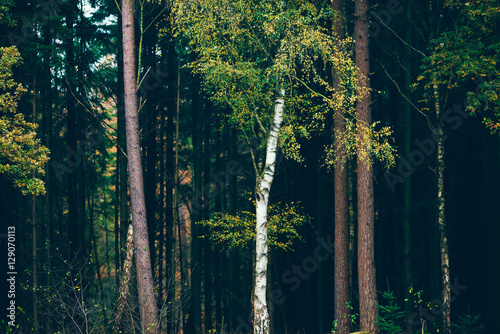 Valokuva  Birch tree with yellow autumn leaves against dark pine tree fore