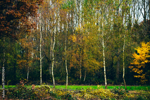 Young birch trees with autumn leaves in field. Canvas-taulu