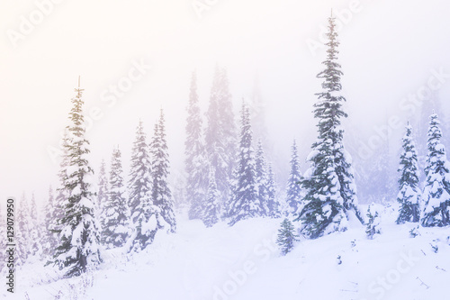 Fototapety, obrazy: snow covered a tree in winter season with sunset light with the