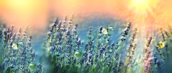 Obraz na Szkle Lawenda Butterflies in the garden of lavender - flower garden lit by sunlight