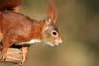 Europäisches Eichhörnchen im Profil