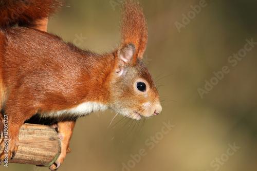 Aluminium Prints Squirrel Europäisches Eichhörnchen im Profil