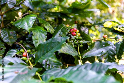 Kaffeepflanzen bei Las Terrazas Wallpaper Mural