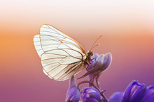 Beautiful White Butterfly Sit On A Blue Flower In Sunny Summer Day