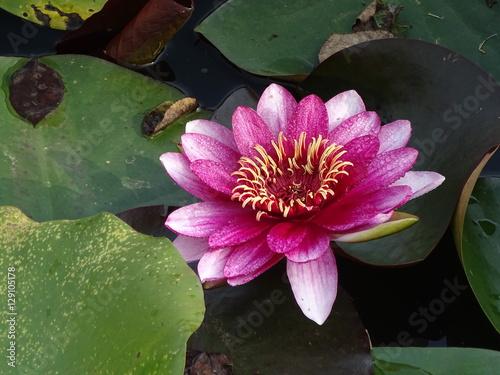Obrazy lilia wodna  lilia-wodna