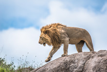 The King Of The Jungle, Lion Moving On A Rocky Outcrop, Serengeti, Tanzania, Africa