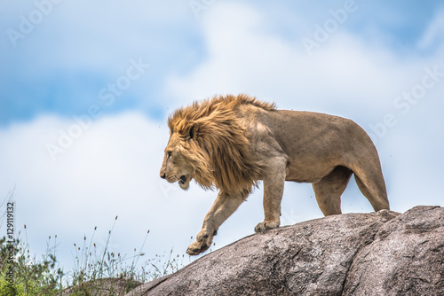 Photo  The king of the jungle, lion moving on a rocky outcrop, Serengeti, Tanzania, Afr