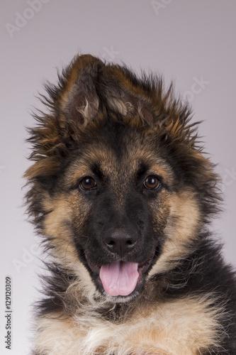 Obraz owczarek niemiecki - fototapety do salonu