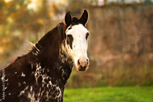black and white criollo horse in argentina