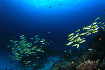Fototapeta na wymiar Coral reef fish