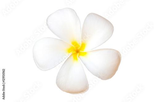 Poster Plumeria Frangipani Flower or Plumeria