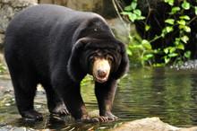 Malayan Sun Bear Looking To Ca...