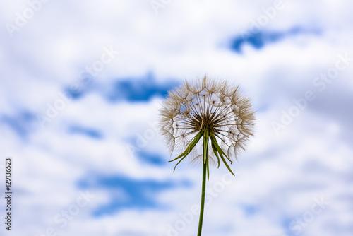 scorzonera-pod-niebem