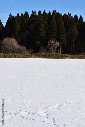 Fotografie, Obraz  雪原の向こうに針葉樹の森