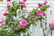 白い柵とピンクの薔薇