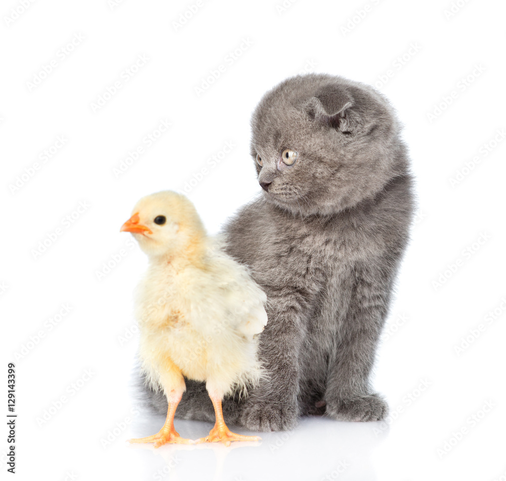 Small chicken and kitten sitting in profile. isolated on white