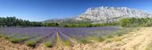 Mount Sainte Victoire And Lavender