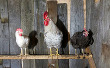 Chickens At Roost
