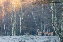 Three Deer At The Edge Of The Forest