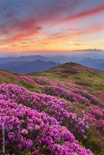 Foto op Aluminium Aubergine rhododendron in mountains