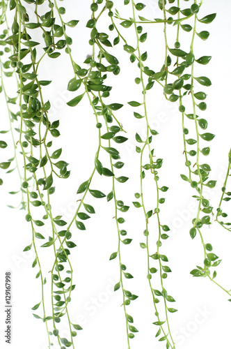 Cuadros en Lienzo Creeper Plant