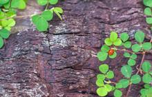 Ladybug Sitting On A Petal Clover