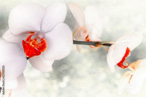 zblizenie-biala-orchidea-z-czerwonymi-akcentami