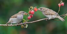 House Sparrows Feeding On A Raspberry Cane
