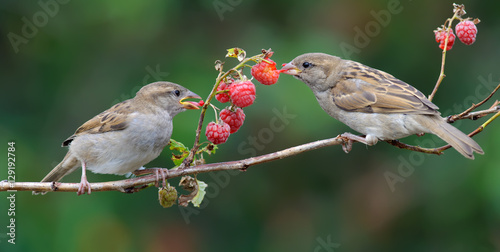 Poster Bird House Sparrows feeding on a raspberry cane