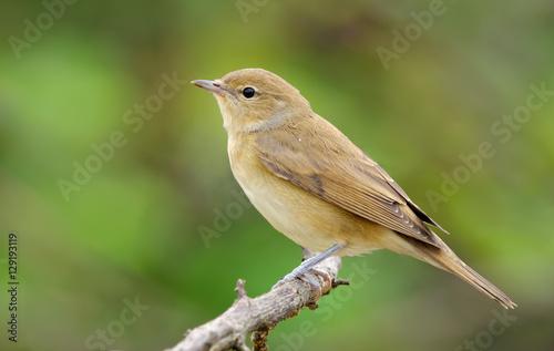 Fotografía Garden warbler posing in light plumage