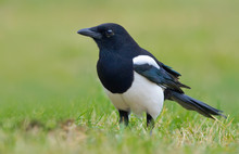 Eurasian Magpie Standing In The Grass