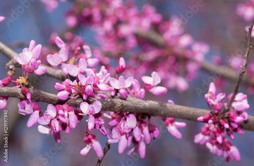 Fotografie, Obraz  Pink flowers on eastern Redbud tree in early spring