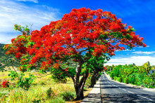 """Beautiful Exotic Red Flowers Tree Calls """"flame Tree"""" . Blooming In December In Mauritius Island"""