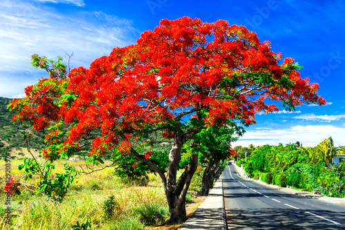 "Beautiful exotic red flowers tree calls ""flame tree"" . Blooming in december in Mauritius island"