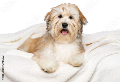 Fotografie, Obraz  Happy reddish Bichon Havanese puppy is lying on a white bedspread