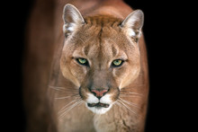 Puma, Cougar Portrait Isolated...