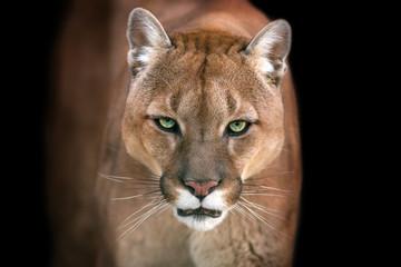 Puma, kuguar portret odizolowywający na czarnym tle