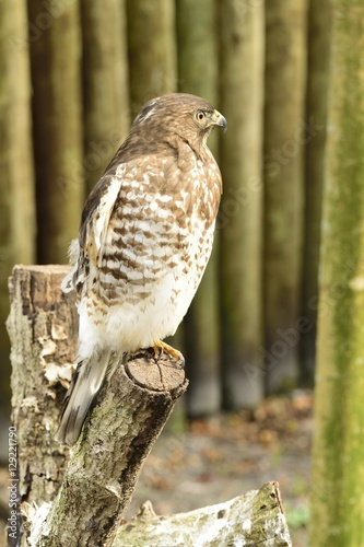 Photo  Beautiful American Red tailed hawk resting on a branch.