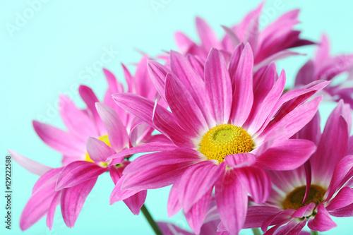 Fototapeta Chrysanthemum flowers on a mint background obraz na płótnie