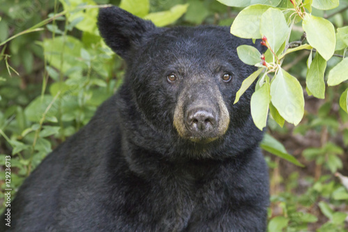 Gazing Black Bear