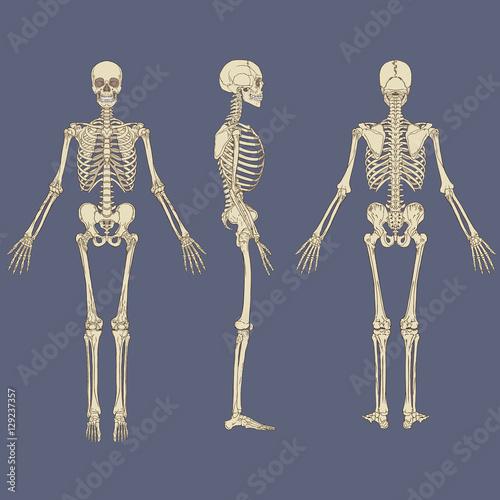 Human Skeleton Chart Vector – kaufen Sie diese Vektorgrafik und ...