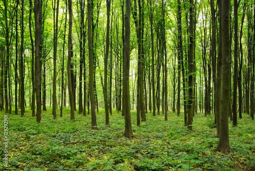 Fototapeten Wald forest in spring