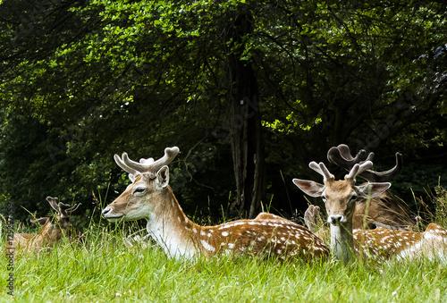 Fotobehang Ree Wildf deers